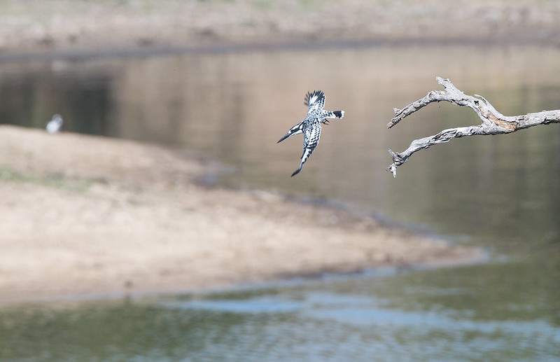 Pied Kingfisher taking off