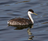 Western Grebe (Aechmophorus occidentalis) - Orange County, CA by JFPescatore