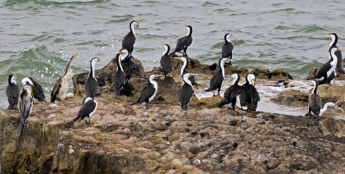 Pied Cormorants and Australian Darters | by bidkev1 and son (see profile)