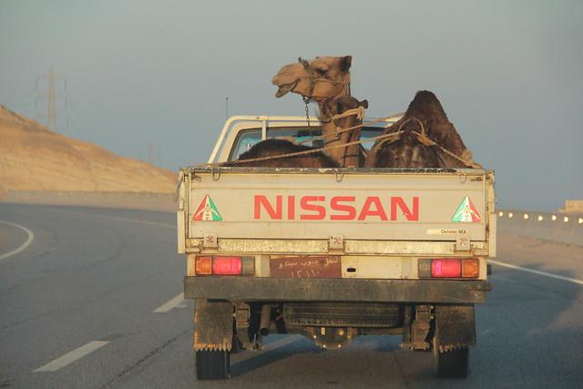 Camel transportation
