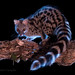 Northern Small-spotted Genet - Photo (c) Andrés Campillo Castejón, some rights reserved (CC BY-NC-ND)