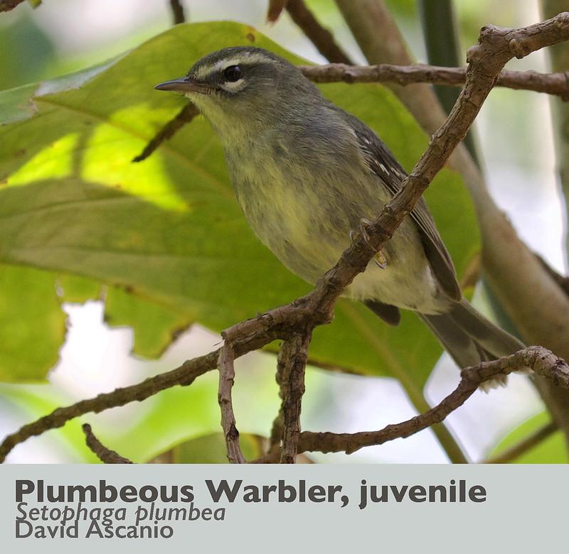 Plumbeous Warbler, Setophaga plumbea_Dominica_199A9993