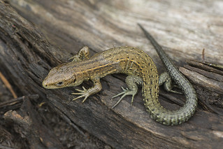 common_lizard-00142