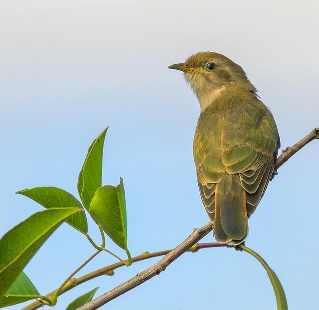 horsfield's bronze cuckoo #2