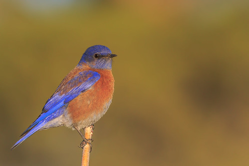 western bluebird bird animal blue sky stick branch wood 7dmarkii canon color ngc flickrelite explore explored ef400mm56l eos red view perched bokeh