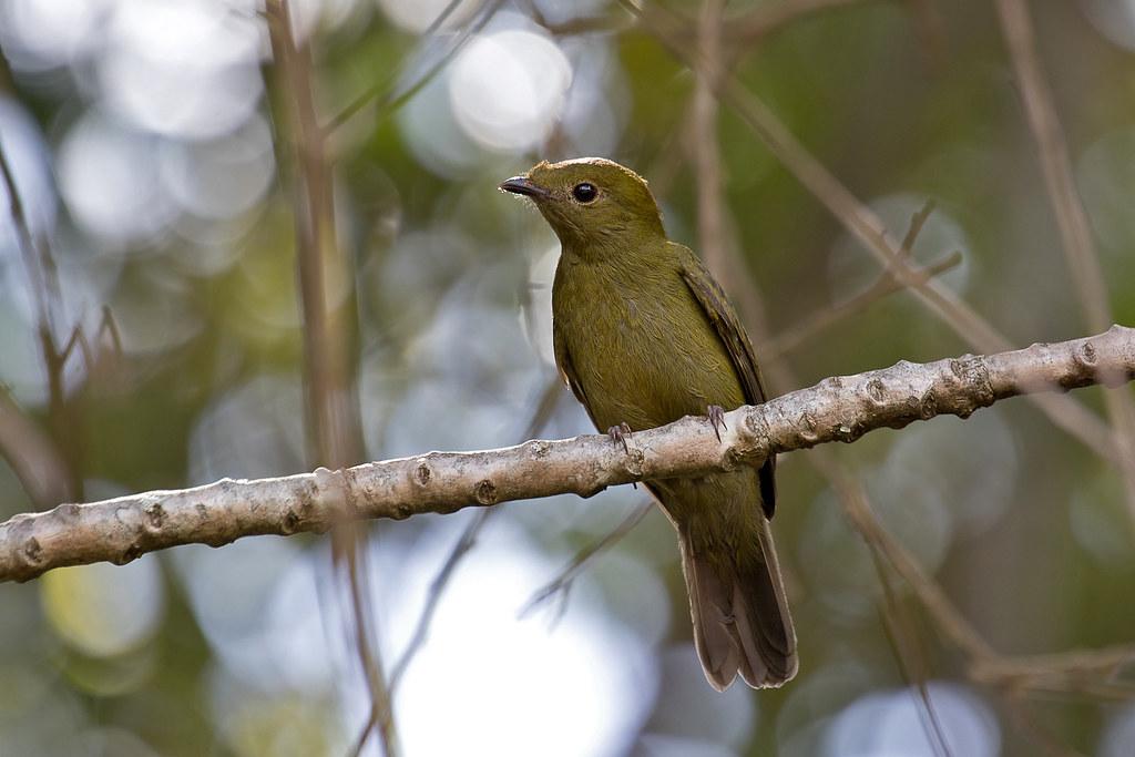 Helmeted Manakin (Antilophia galeata) - female