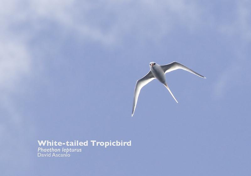 White-tailed Tropicbird, Phaethon lepturus_199A9121