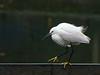 Little Egret (Egretta garzetta) by David Cook Wildlife Photography