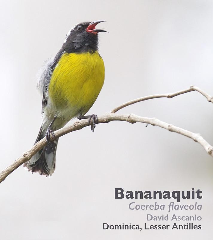 Bananaquit, Coereba flaveola_Dominica_199A9827