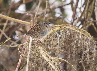 Dunnock, The Lodge, 3rd March 2018