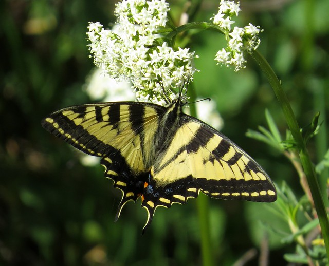 Western tiger swallowtail (Papilio rutulus) butterfly, Arapaho National Recreation Area, Colorado, June 2017
