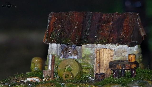 wood mouse inside little house mar 2018  (1)