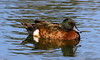 Chestnut Teal Anas castanea by Neil Cheshire