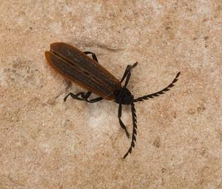 Lycidae, Porrostoma sp., Beetle