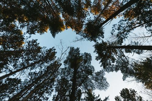 bearheadlake bearheadlakestatepark minnesota norberglake lookingup sunset trees ely unitedstates us