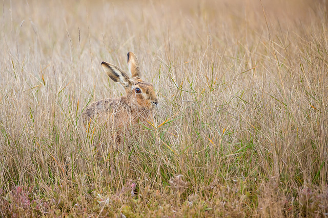 Brown Hare in Water Meadow