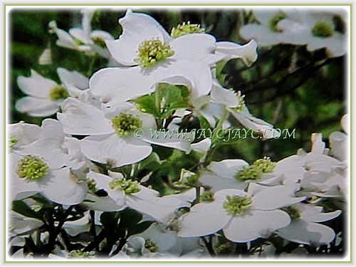 Beautiful white flowers of Cornus florida | by jayjayc