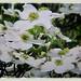 Beautiful white flowers of Cornus florida