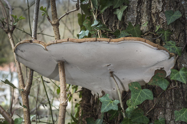 Ganoderma applanatum - Ganoderme aplani