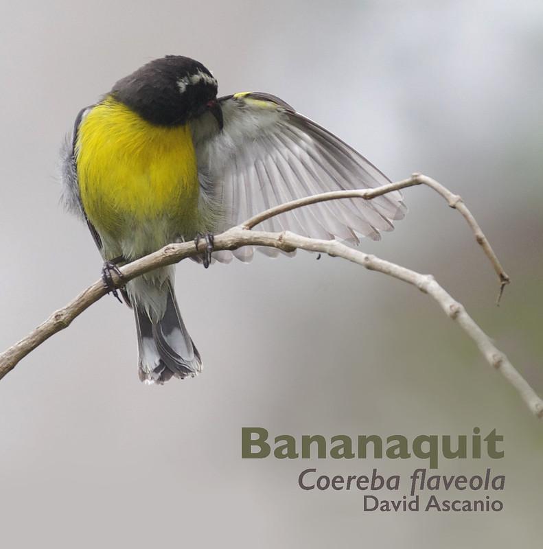 Bananaquit, Coereba flaveola_Dominica_199A9829