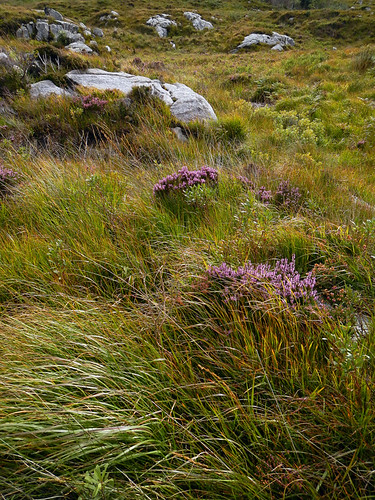 Heather in bloom in Glenveagh National Park, Ireland
