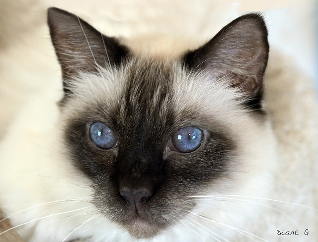 Balinese Cat Pictures And Information Cat Breeds Com