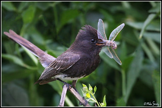 07-8481_Black_Phoebe with a dragonfly | by michaelsorsky