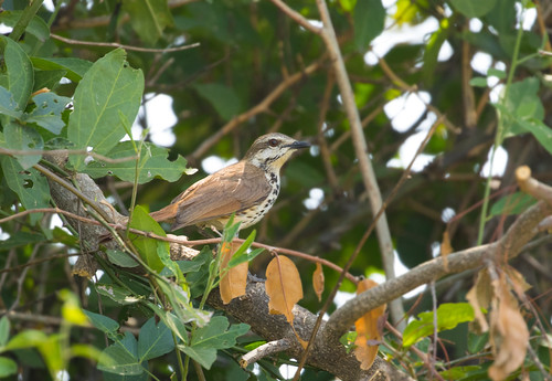 Spotted Morning-Thrush (Cichladusa guttata)