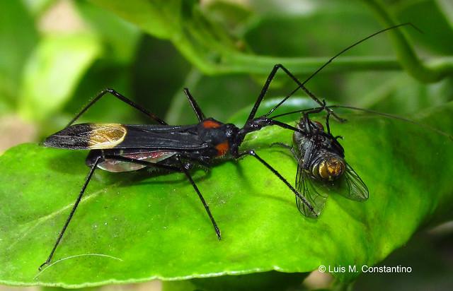 Zelus vespiformis (Hemiptera:Reduviidae), hembra