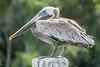 Pelícano - Brown Pelican (Pelecanus occidentalis) by Issai Campos