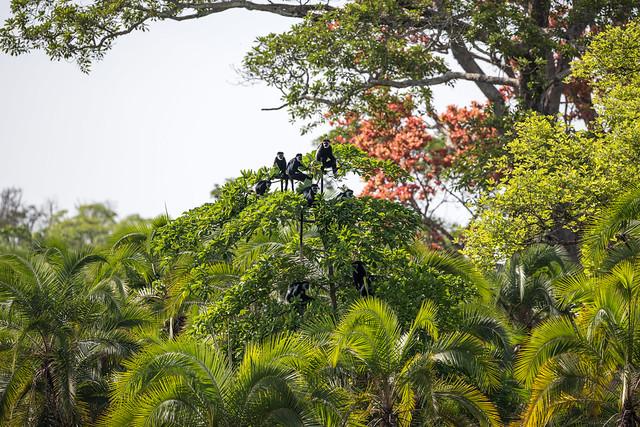 Western Guereza (Colobus guereza ssp. occidentalis),  Lobéké National Park, Cameroon