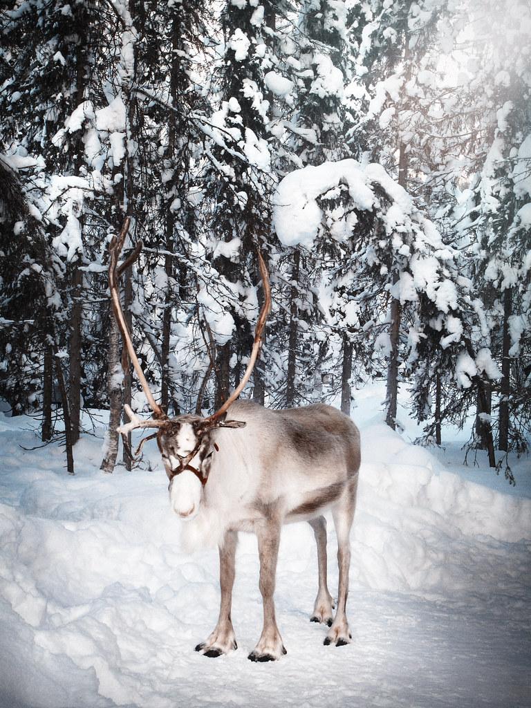 cdbf2311e0c Reindeer - Lapland - Finland