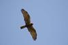 African Marsh Harrier (Circus ranivorus) passing overhead. by piazzi1969