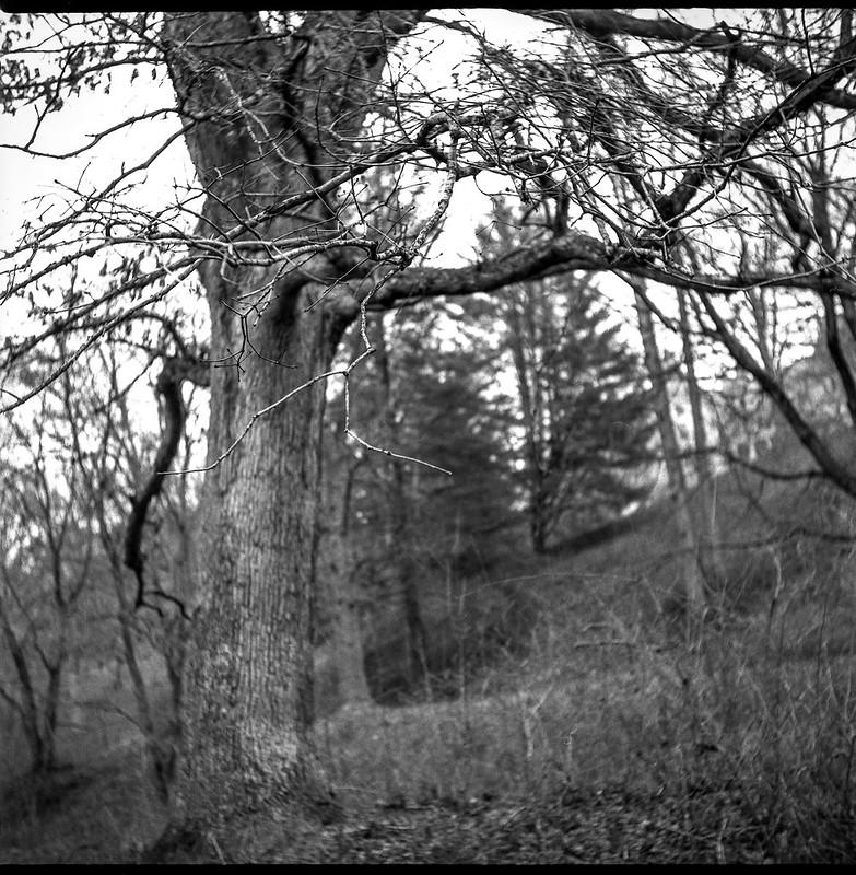 tree forms, linear movements, hillside, Biltmore Estate, Asheville, NC, Ricohflex Dia M, Arista.Edu 200, Ilford Ilfosol 3, 3.8.18