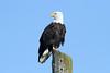 Haliaeetus leucocephalus (Bald Eagle) - WA, USA by Nick Dean1