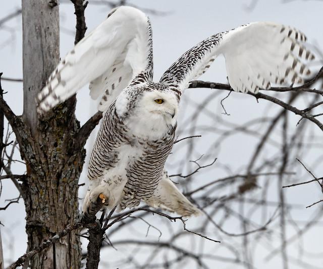 Harfang des neiges --- Snowy owl --- Búho del Ártico