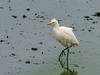 Eastern Cattle Egret (Bubulcus ibis) by David Cook Wildlife Photography