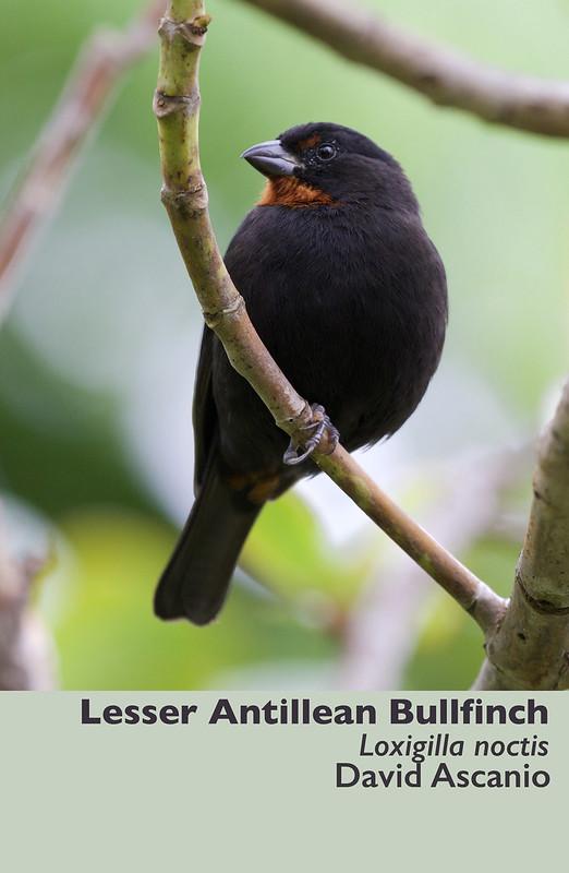 Lesser Antillean Bullfinch, Loxigilla noctis_Dominica_199A9872 copy