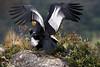 Andean Condors - Copulation (Vultur gryphus) by Frank Shufelt