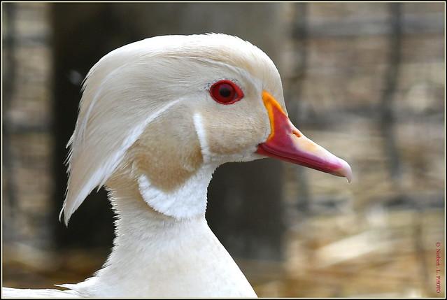 Canard Carolin albinos mâle ( Aix sponsa )