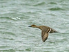 Northern Pintail (Anas acuta) by David Cook Wildlife Photography