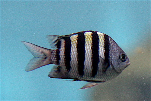 Striped fish images theme, will