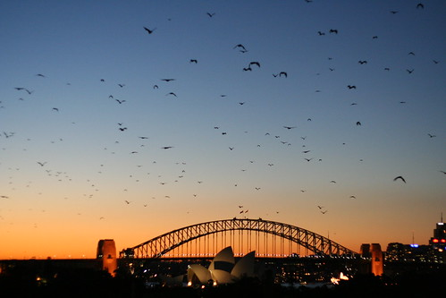 Sydney - Bats at dusk   by Naddsy