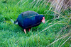 alpine the takahe by blowback