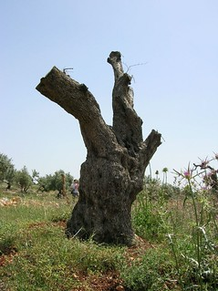 Olive tree in Bil'in torn out ... | by greenwonderland