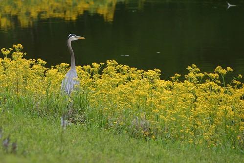 bird heron animal tennessee greatblueheron lovephotography harrisonbaystatepark