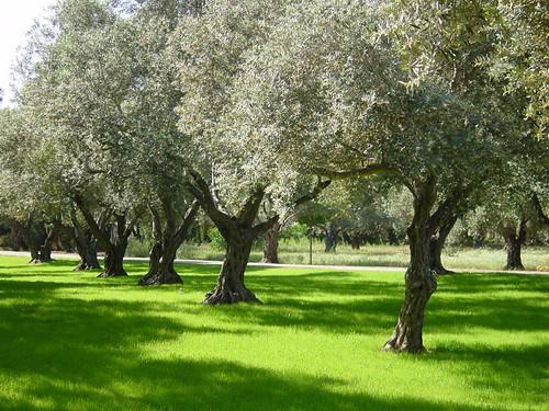 olive grove   by .Leili