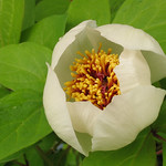 Paeonia obovata willmottiae
