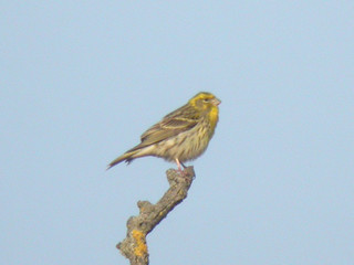 Serin, Elvas (Portugal), 24-Apr-06 | by Dave Appleton