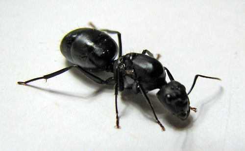 Fertilized queen ant | by jinaa.com